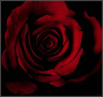 Red Rose by Bumblewales