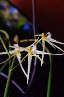 Rat's Tail Orchid 02 by Pi-Productions