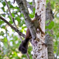 Nimble squirrel by Enalla