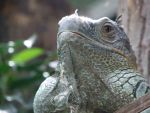 Iguana by shot-mithos