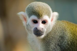 squirrel monkey I by werram