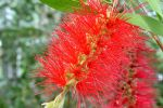 Bottle Brush Flower by WildTigerLily