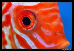 Discus Eye by atengphotography