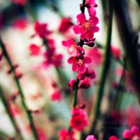 Prunus by WouterPera
