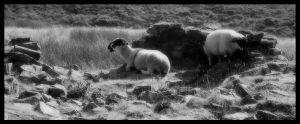 Two sheep by autumn-haze