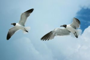 Flying Seagull 2 by dlc-nature-stock
