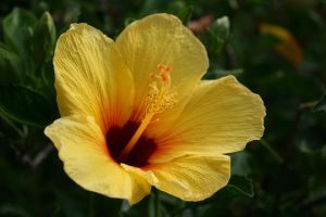 Yellow Hibiscus by hunny21-stock