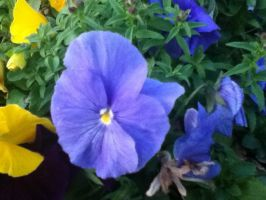 Blue Pansy by BlueDragonflyer