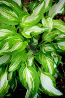Hosta III by Nitersss