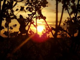 Sunset on field by EricaOscura
