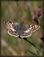 Checkered-Skipper 20D0039366 by Cristian-M