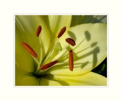 Yellow Lily by solodaddy