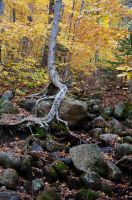White Mountains  Fall Foliage  249 by FairieGoodMother