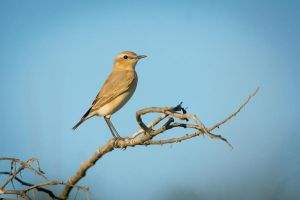 Isabelline Wheatear by rat-or-rat