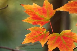 Orange Maple Leaf by Cocotte-Vero91