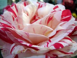Peppermint rose by fosspathei