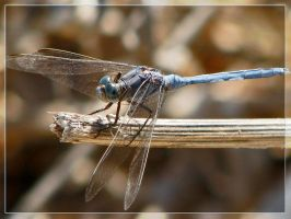 blue dragonfly by maska13