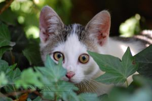 Cat in the Ivy by Wild-Soul
