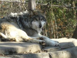 Mexican Wolf I by Oogeepatogoa