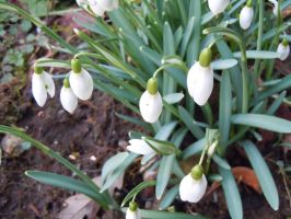 SnowDrops by Atom001