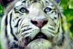 White Tiger II by The-Other-Half-Of-Me