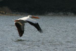White Pelican in Flight by I-Heart-Photos