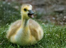 Happy Gosling by rainylake
