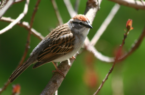 Chipping Sparrow in Smoke Bush by BirdyLee