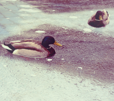 Ducks by aDayInJuly