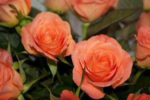 two pink salmon roses by steppelandstock