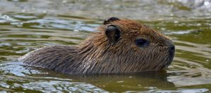 Baby Capybara takes a swim by priwax