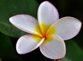 Plumeria II by nordfold