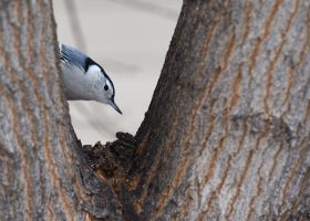 White Breasted Nuthatch - The tree frame by JestePhotography