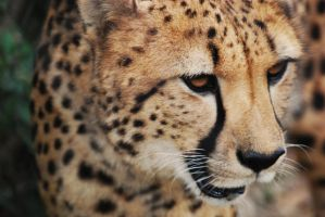 Youre a CHEETAH by Caitortiz