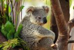 He is the Most Interesting Koala in the World... by Celem
