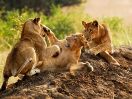 lions fighting by jambo83