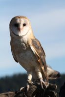 Barn Owl by davidst123