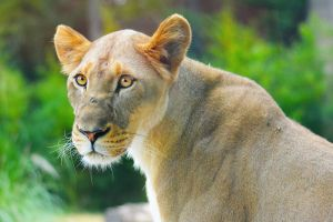 African Lioness by SarahVlad