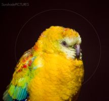 special paradise bird by SunshadePICTURES