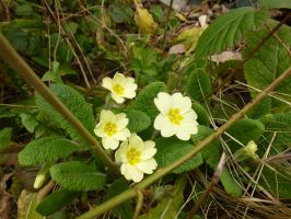 Our Beautiful Native Primrose by SrTw