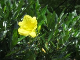 Yellow Lily by moulinrougegirl77