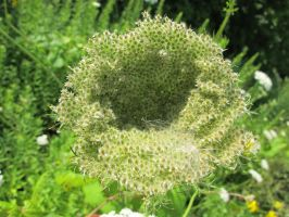 A Bowl of Queen Anne's Lace 2 by Windthin