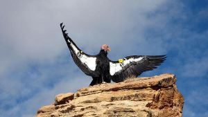 Number 33 - Californian Condor by sicmentale