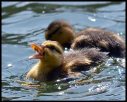 Feeding the little duckies by FrankAndCarySTOCK