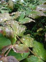Rain Drops on Leaves 01 by Tech-Dave