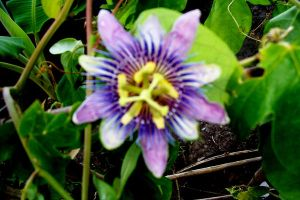 Passion Flower by Bluegalleon