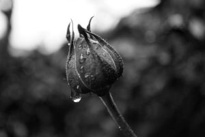 Dripping Rose Bud by TheEnglishSummer