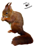 Cut-out stock PNG 08 - nice red squirrel by Momotte2stocks