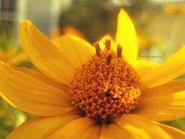 The Yellow Flower. by Sparkle-Photography