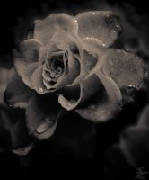 Frozen Rose XI by Suicidalphotos
